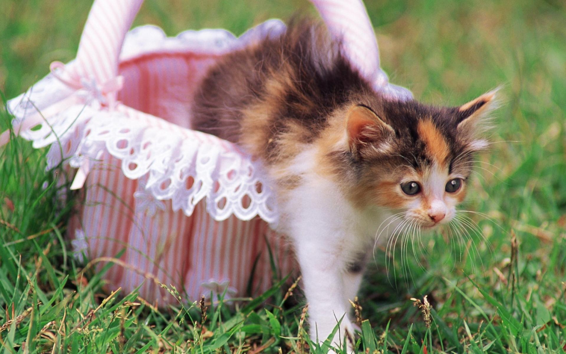 Картинки Котенок, кошка, корзина, трава, красивые фото и обои на рабочий стол