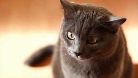 Кошка, лицо, серый, глаза