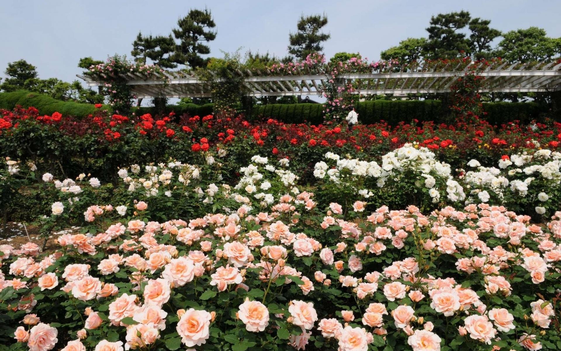 Картинки Розы, цветы, много, кустарник, сад, зелень фото и обои на рабочий стол
