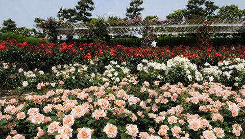Розы, цветы, много, кустарник, сад, зелень