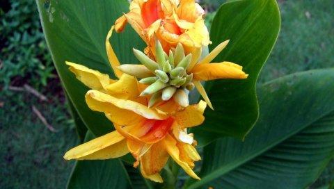 Цветок, апельсин, листья, клумба, крупный план