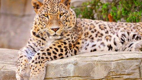 Леопард, большой кот, ложь, красивый, счастливый