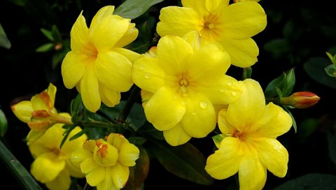 Бальзамы, желтый, цветы, капли, свежий, крупный план