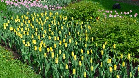 Тюльпаны, цветы, трава, травы