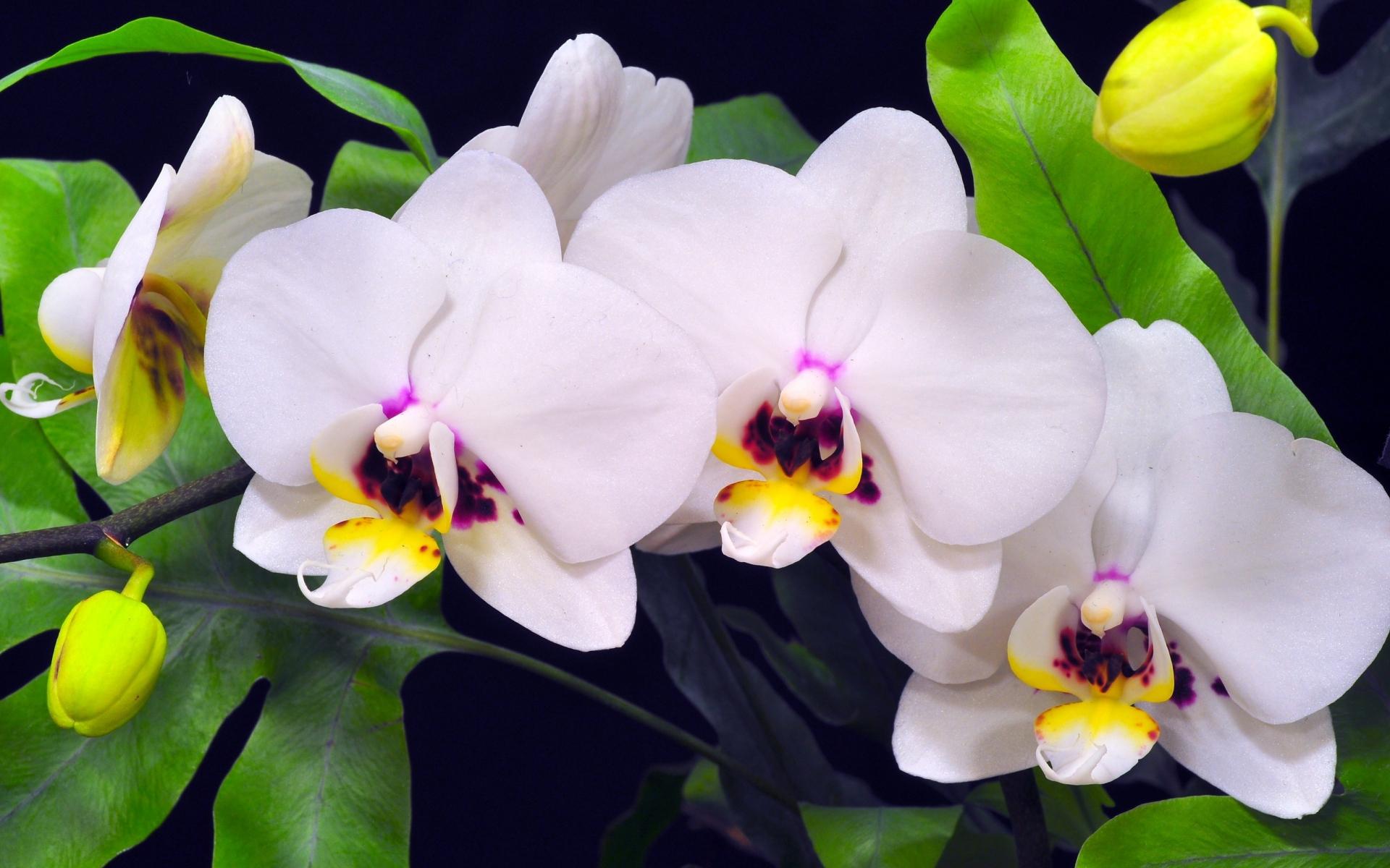 Семь гномов, картинки с орхидеей на рабочий стол