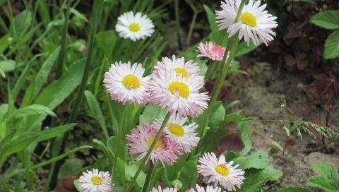 Ромашки, цветы, травы, трава, лето