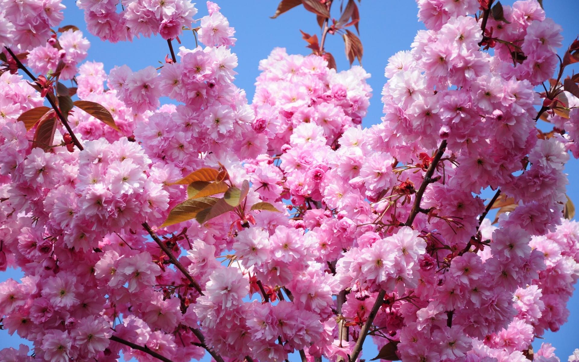 Картинки Вишня, цветок, ветка, весна, листва, небо фото и обои на рабочий стол