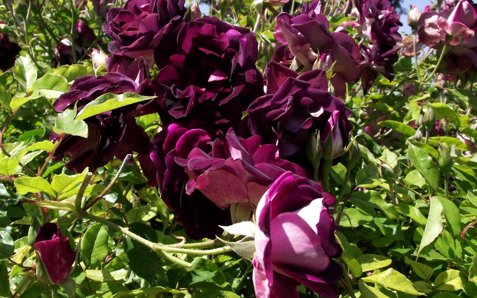 бордовые растения фото с названиями в саду айсберг один