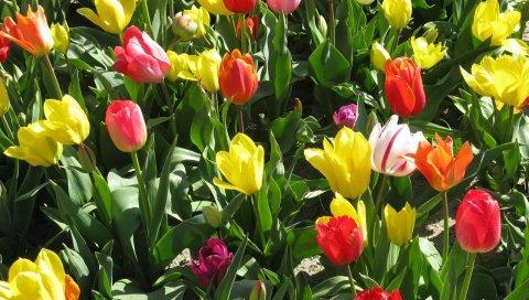 Тюльпаны, цветы, яркие, весенние, солнечные, клумбы, положительные