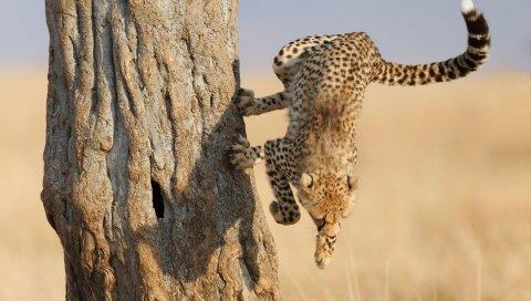 Гепард, прыжок, лес, большой кот, охота