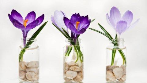 Крокусы, цветы, примулы, три, банки, скалы