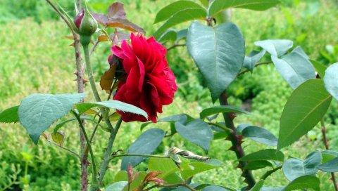 Роза, цветок, кустарник, шипы, зеленый