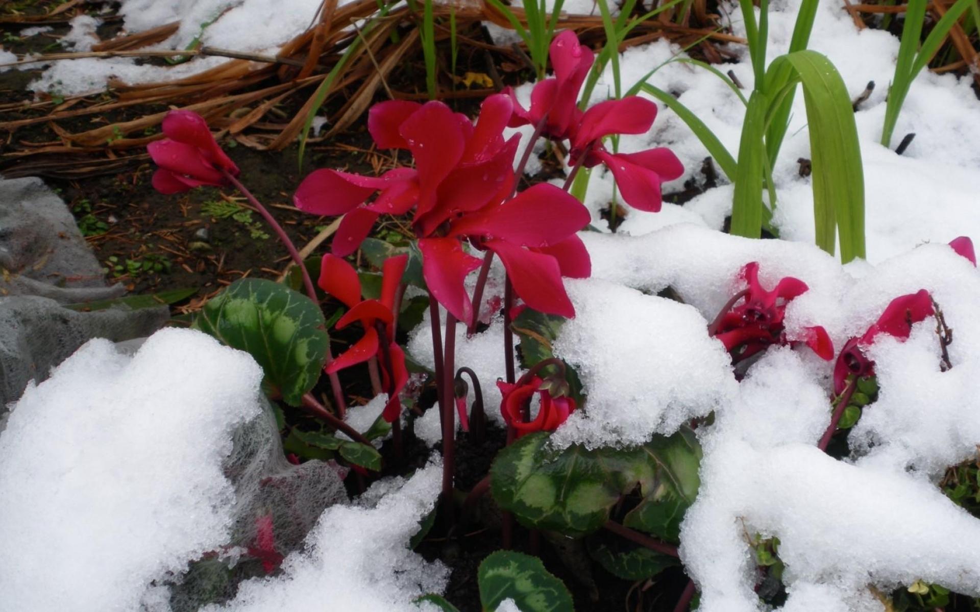 Картинки Цикламен, цветы, снег, холод, крупный план фото и обои на рабочий стол