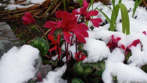 Цикламен, цветы, снег, холод, крупный план