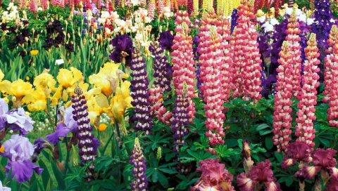 Люпины, цветы, ирисы, яркие, разные, красивые