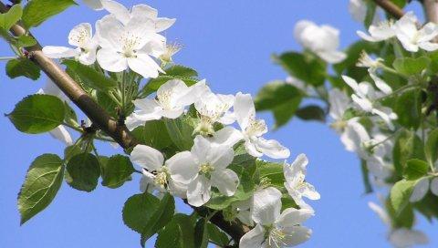 Цветение, ветви, небо, весна, яблоко