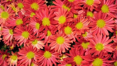 Хризантемы, цветы, лепестки, цветы