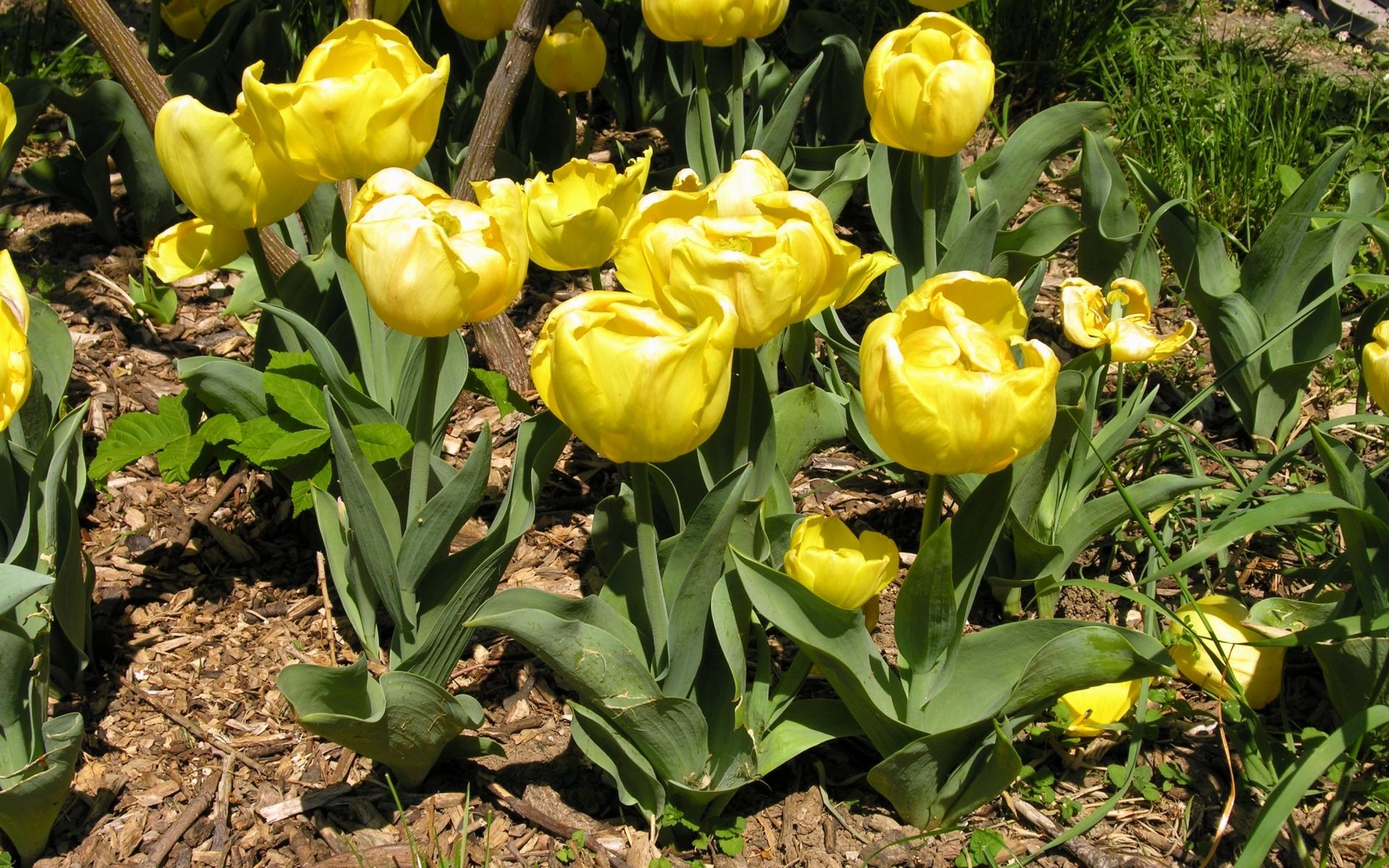 Картинки Тюльпаны, цветы, желтый, клумба, весна, солнечный, зеленый фото и обои на рабочий стол