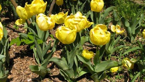 Тюльпаны, цветы, желтый, клумба, весна, солнечный, зеленый