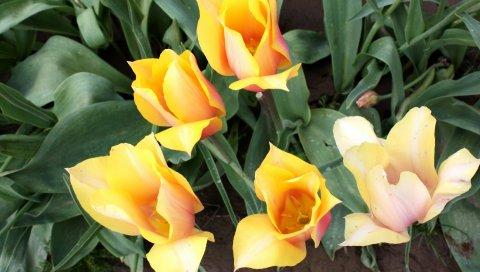 Тюльпаны, цветы, течет, клумба, зеленый, весна
