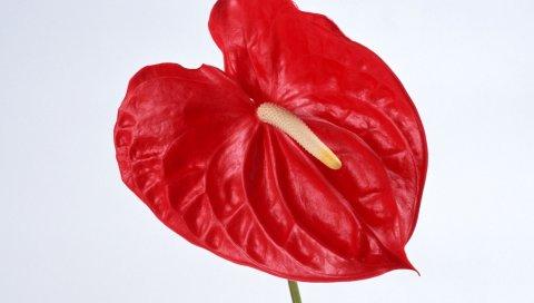 Антуриум, цветок, красный, тычинка