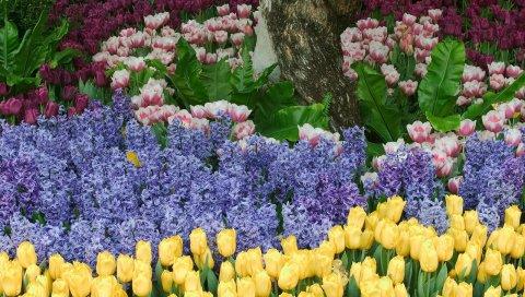 Тюльпаны, цветы, гиацинты, клумбы, парк, зеленый