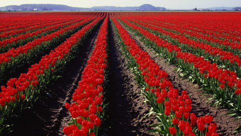 Тюльпаны, цветы, серия, весна, горизонт
