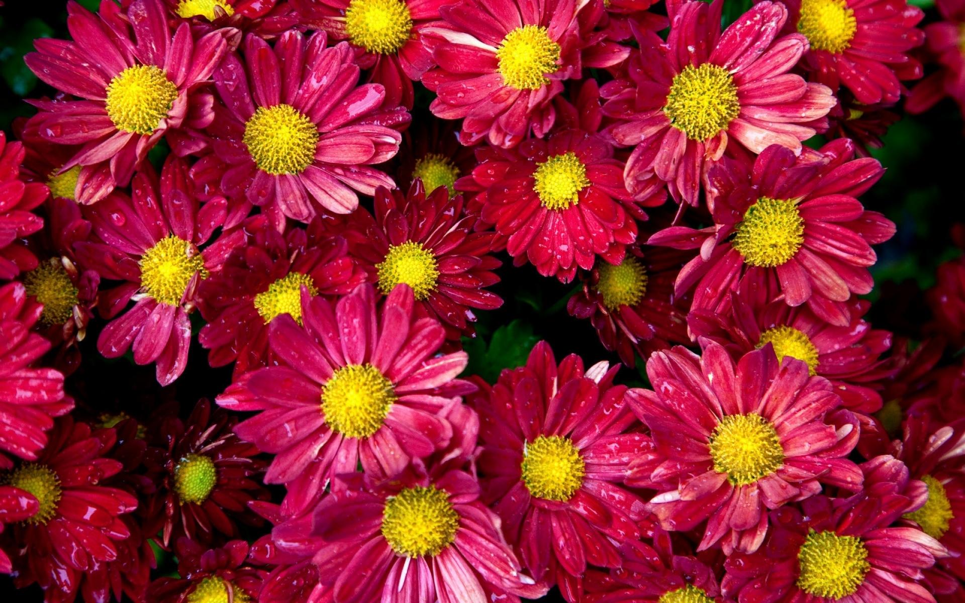 Картинки Хризантемы, цветы, почки, капля, свежесть фото и обои на рабочий стол