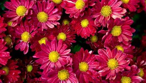 Хризантемы, цветы, почки, капля, свежесть