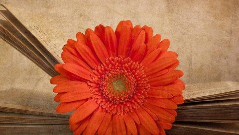Гербера, цветок, апельсин, книга