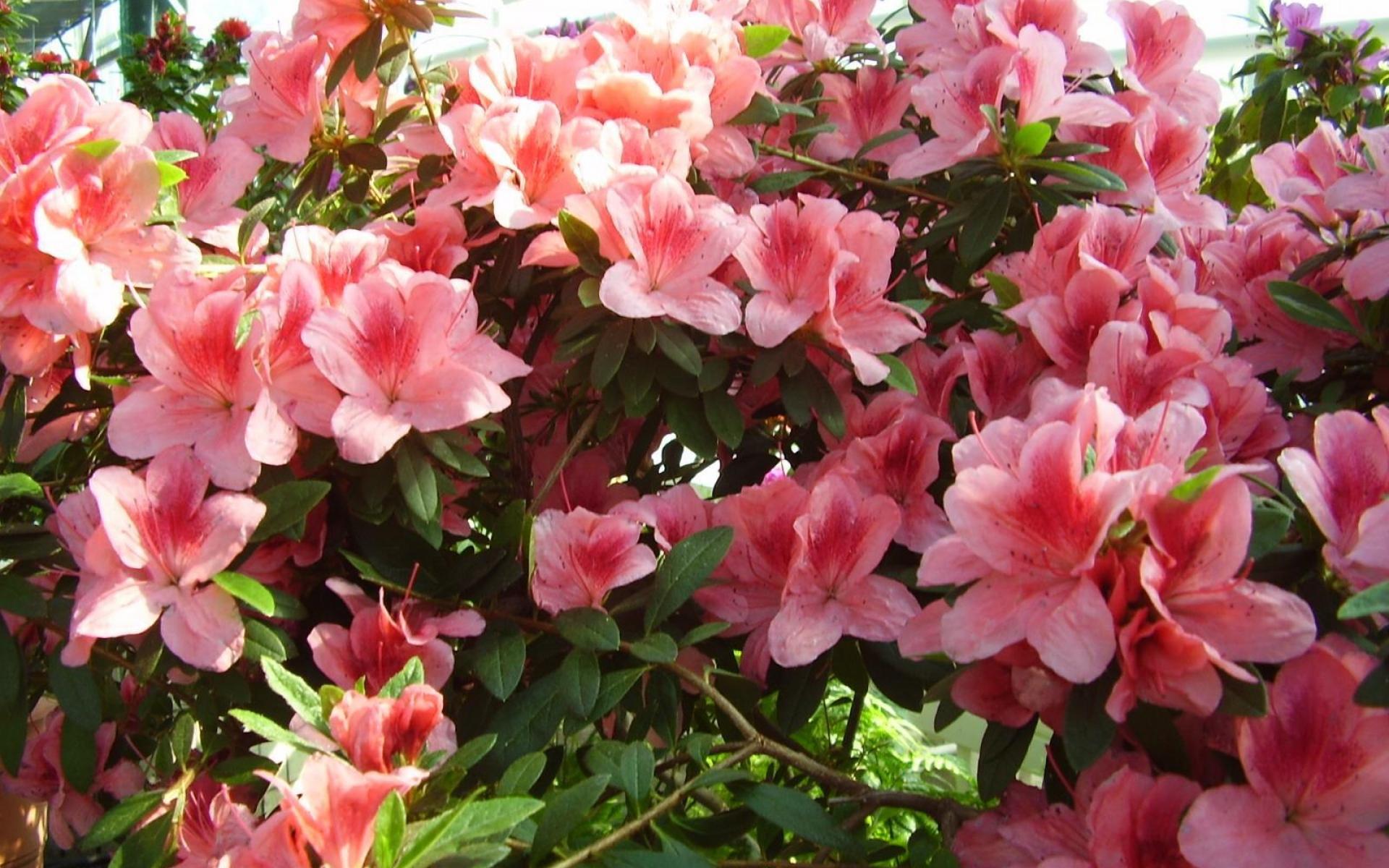 азалия лепестки цветы  № 3898176  скачать