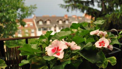 Герань, цветы, улица, горшок, зелень, балкон