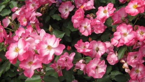 Роза, цветок, кустарник, листья
