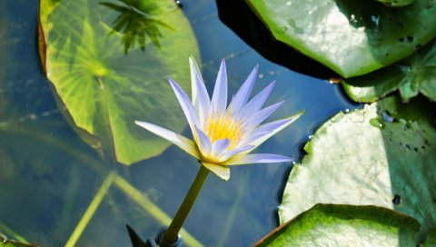 Лилия, вода, листья, грязь, капли, зеленый