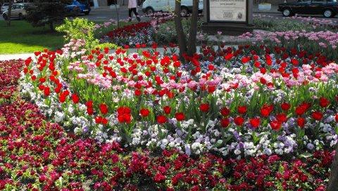 Анютины глазки, тюльпаны, клумба, дорожка, улица, красота
