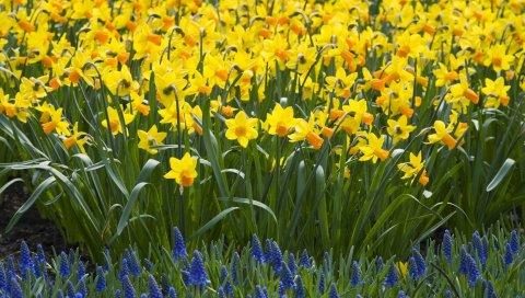 Нарциссы, мускари, цветы, постель, весна, зеленый, земля