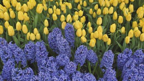 Гиацинты, тюльпаны, цветы, кровать, весна, зеленый