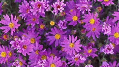 Цветы, фиолетовый, лепестки, пыльца, крупный план