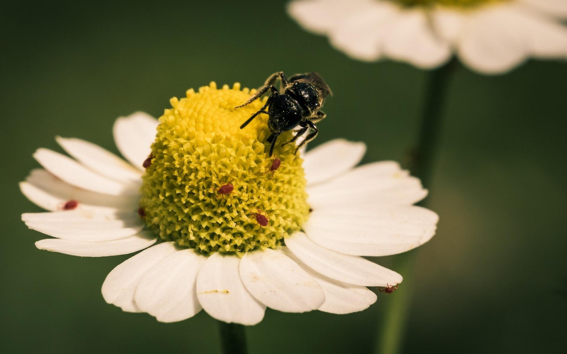 Картинки Цветок, пчела, опыление, маргаритка фото и обои на рабочий стол