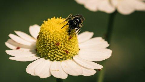 Цветок, пчела, опыление, маргаритка
