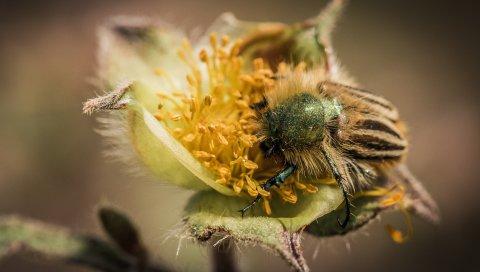 Цветок, жук, опыление, пушистый
