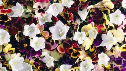 Анютины глазки, цветы, красочные, колокольчики, яркие