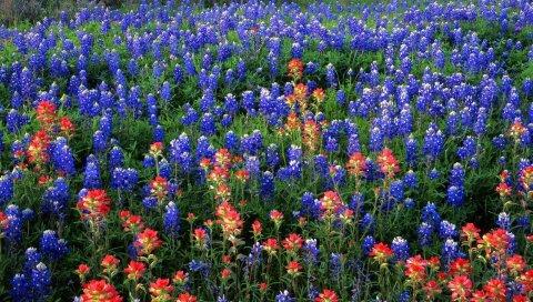Люпины, цветы, дикая, зелень, лето