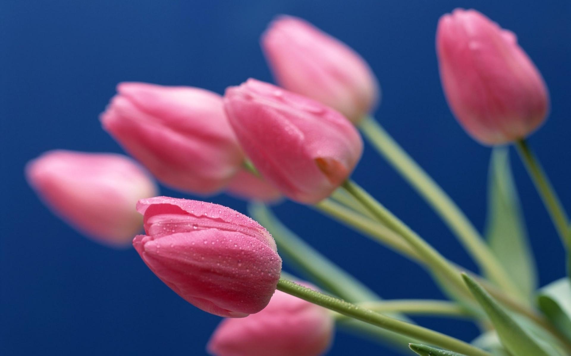 Картинки Тюльпаны, цветы, букет, капли, макро, фон фото и обои на рабочий стол