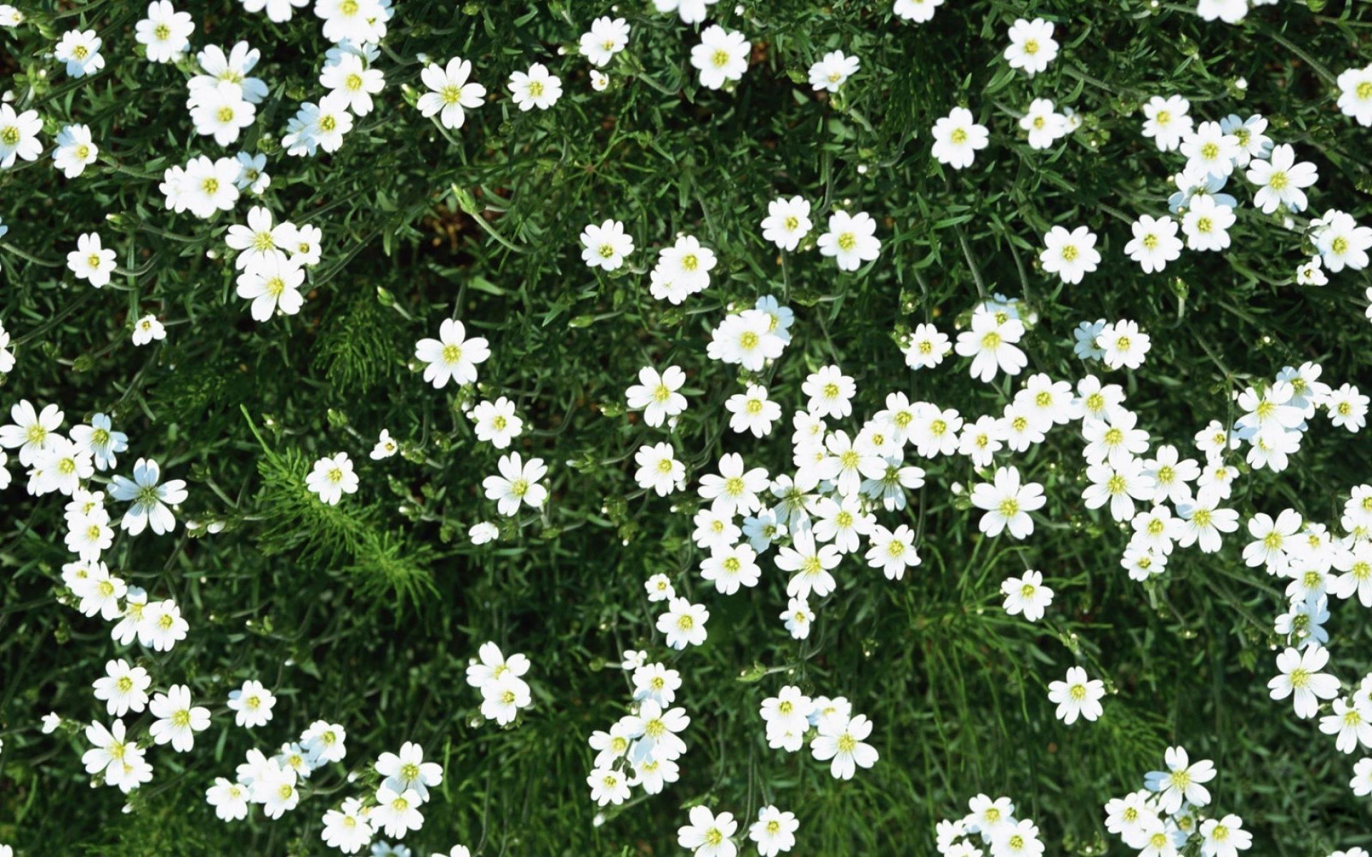 Картинки Цветы, маленький, белый, зеленый, лето фото и обои на рабочий стол