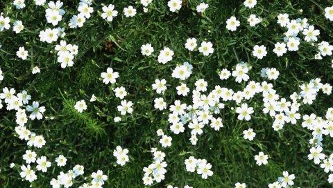 Цветы, маленький, белый, зеленый, лето