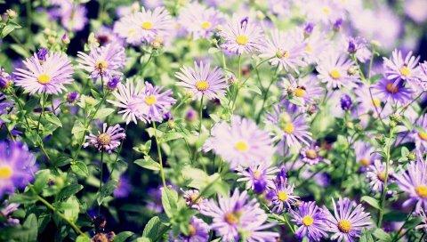 Цветы, астры, клумба, зелень, острота
