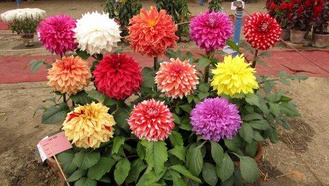 Георгины, цветы, горшки, разные, выставки