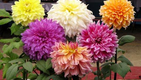 Георгины, цветы, разные, травы, красота