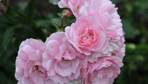 Розы, цветы, кусты, травы, размытие